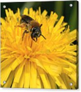 A Bee In A Dandelion Acrylic Print