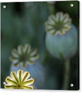After The Flower 3 Acrylic Print