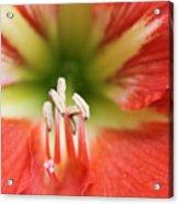 Amaryllis 2 Acrylic Print