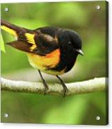 American Redstart Warbler Acrylic Print