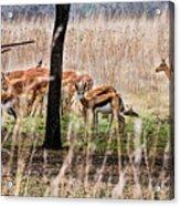 Antidorcas Marsupialis Acrylic Print