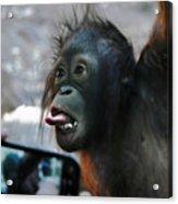 Baby Orangutan Acrylic Print