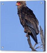 Bataleur Eagle Viewpoint Acrylic Print