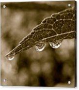 Beautiful Raindrops On A Leaf Acrylic Print