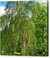 Birch Tree In Afternoon Acrylic Print