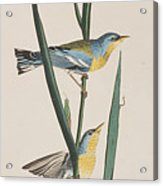 Blue Yellow-backed Warbler Acrylic Print