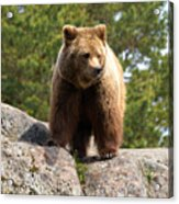 Brown Bear 4 Acrylic Print