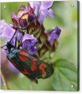 Burnet Moth Acrylic Print