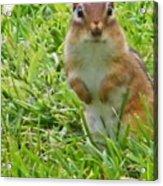 Chipmunck Standing     August Indiana Acrylic Print