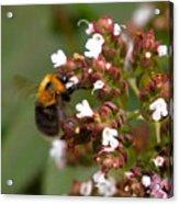 Cuckoo Bumblebee Acrylic Print