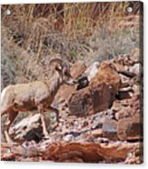 Escalante Canyon Desert Bighorn Sheep  Acrylic Print