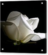 Evening Light White Rose Flower Acrylic Print