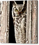 Great Horned Owl Perched In Barn Window Acrylic Print by Mark Duffy