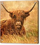 Happy Highlander Acrylic Print
