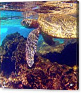 Honu On The Reef Acrylic Print