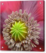 Inner Most Poppy Acrylic Print