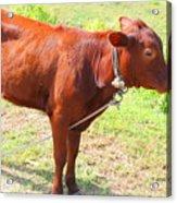 Jamaican Cow Acrylic Print