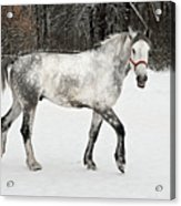 Light  Grey Horse Goes On A Winter Glade  Acrylic Print
