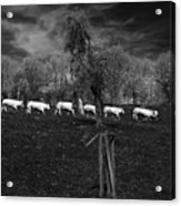 Line Of Cows Acrylic Print