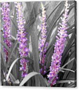 Liriope In Color Acrylic Print