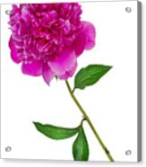Little Ant And Peony Acrylic Print