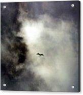 Magnificent Frigatebird Acrylic Print