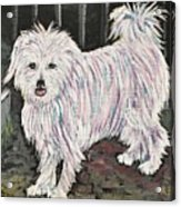 Maltese Terrier Mix In Living Color Acrylic Print