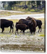 North American Female Buffalo And Her Offspring Showing Affecti Acrylic Print