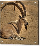 Nubian Ibex Acrylic Print