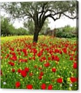 Olive Amongst Poppies Acrylic Print