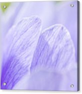Purple Anemone Flower  Acrylic Print