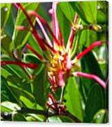 Red Spider Flower Close Up Acrylic Print