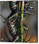 Romalea Microptera Hierarchy Acrylic Print