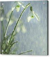 Snowdrops Acrylic Print