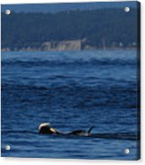 Southern Resident Orcas And Salmon Off The San Juan Islands Playing With Salmon Acrylic Print