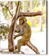 Swinging Monkey Acrylic Print