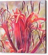 Tendrils Gymea Lily   Acrylic Print