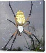 Texas Garden Spider Acrylic Print