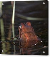 The Common Frog 2 Acrylic Print