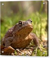 The Common Toad 3 Acrylic Print