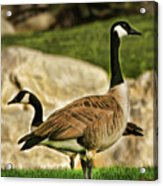 Two Geese Acrylic Print