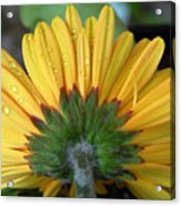 Water Drops On Gerbera Daisy Acrylic Print