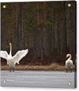 Whooper Swans 2 Acrylic Print