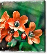 Wildflowers 5 -  Polemonium Reptans  - Digital Paint 3 Acrylic Print