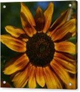 Yellow Sun Flower Acrylic Print