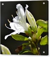 0032  Blossoming Acrylic Print