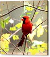 0138 - Cardinal Acrylic Print
