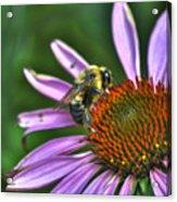 02 Bee And Echinacea Acrylic Print
