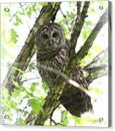 0304-002 - Barred Owl Acrylic Print