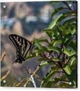 0518- Butterfly Acrylic Print